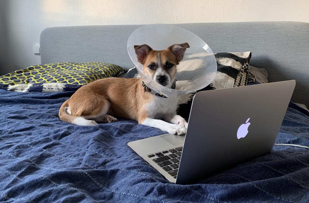 pies leży na łóżku przed laptopem i ma na głowie plastikowy kołnierz dla psa