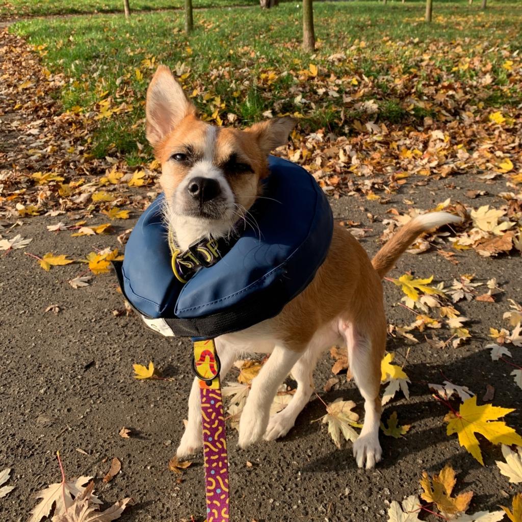 pies na spacerze nosi dmuchany kołnierz dla psa