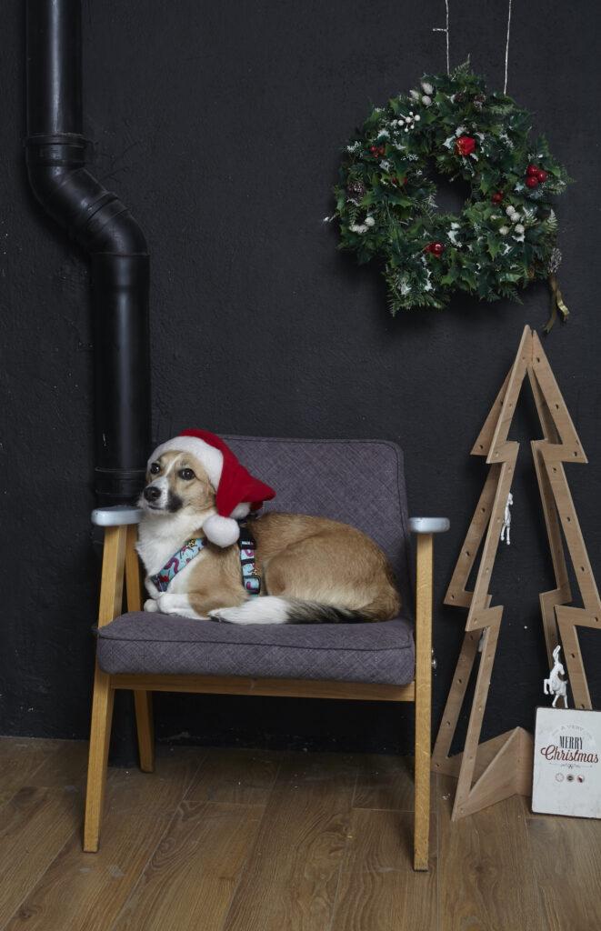 Pies w czapce świętego mikołaja siedzi na krześle. Obok niego stoi drewniana choinka, na ścianie wisi wieniec świateczny.