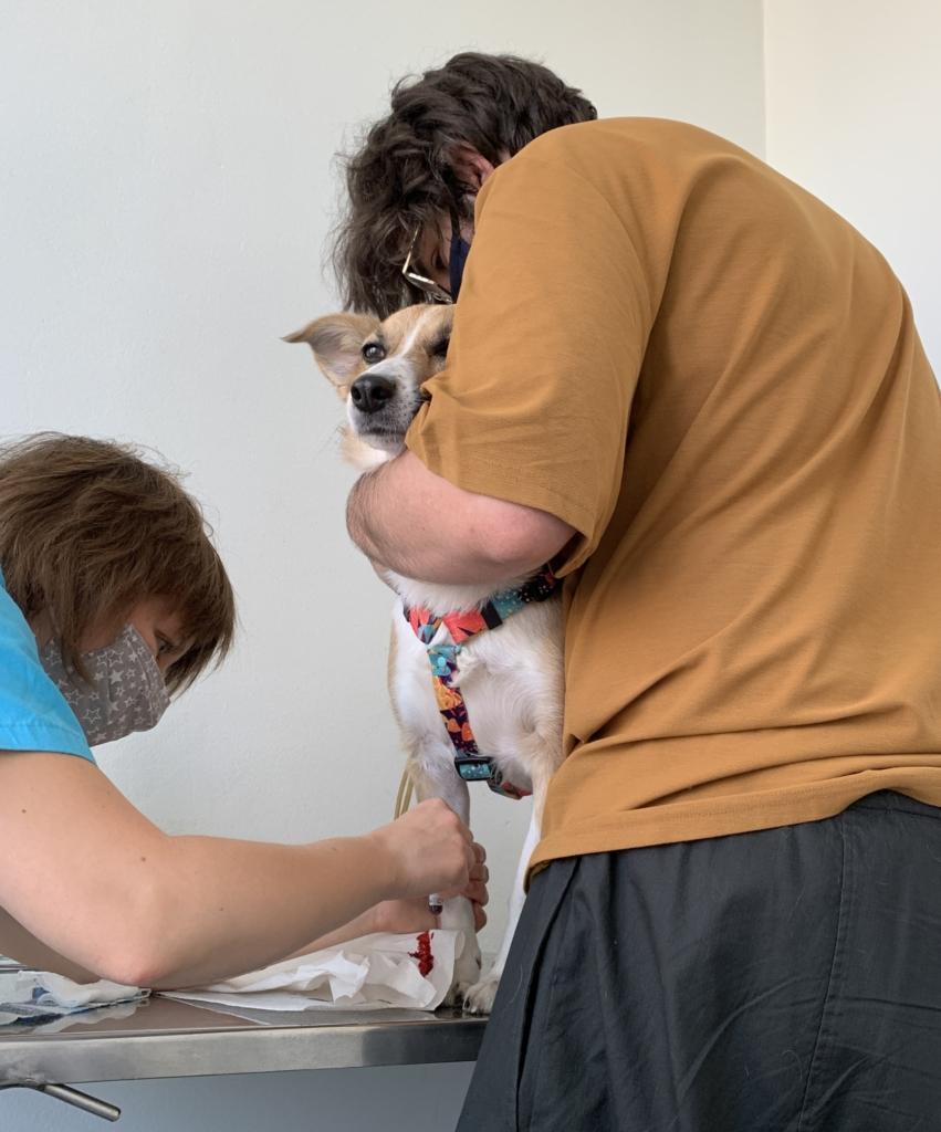 pies ma pobieraną krew w trakcie wizyty u weterynarza